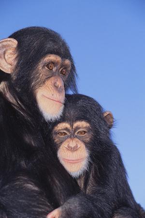 https://imgc.artprintimages.com/img/print/chimpanzees_u-l-pzrim80.jpg?p=0