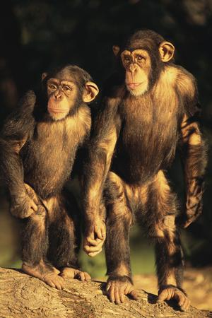 https://imgc.artprintimages.com/img/print/chimpanzees_u-l-pzrj6l0.jpg?p=0