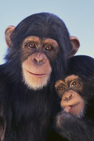 Chimpanzees-DLILLC-Photographic Print