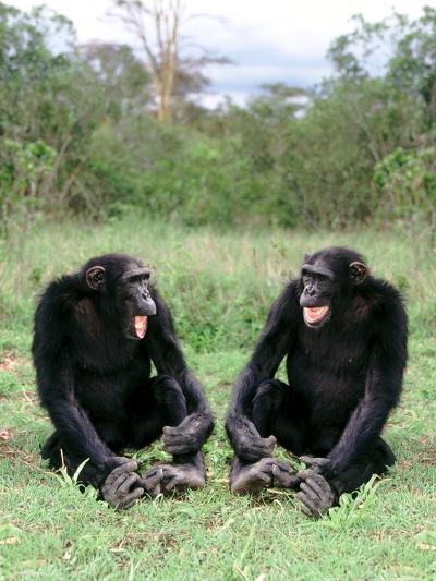 Chimps Socializing-DLILLC-Photographic Print