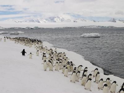 Chin Strap Penguins March Along the Icy Coast of Antarctica-Ralph Lee Hopkins-Photographic Print