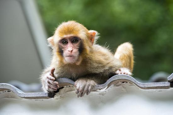 China 10MKm2 Collection - Baby Monkey-Philippe Hugonnard-Photographic Print