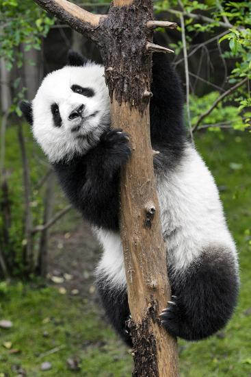 China 10MKm2 Collection - Giant Panda Baby-Philippe Hugonnard-Photographic Print