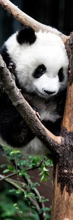 https://imgc.artprintimages.com/img/print/china-10mkm2-collection-giant-panda-baby_u-l-pz7dov0.jpg?p=0