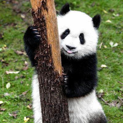 China 10MKm2 Collection - Giant Panda Baby-Philippe Hugonnard-Photographic Print