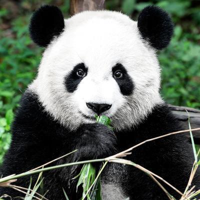 China 10MKm2 Collection - Giant Panda-Philippe Hugonnard-Photographic Print