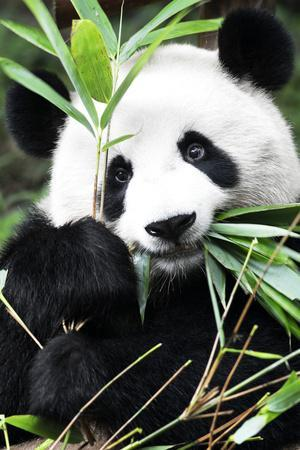 https://imgc.artprintimages.com/img/print/china-10mkm2-collection-giant-panda_u-l-pz6he00.jpg?p=0