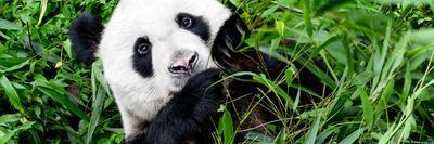 https://imgc.artprintimages.com/img/print/china-10mkm2-collection-giant-panda_u-l-pz6nd90.jpg?p=0