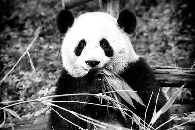 China 10MKm2 Collection - Giant Panda-Philippe Hugonnard-Photographic Print