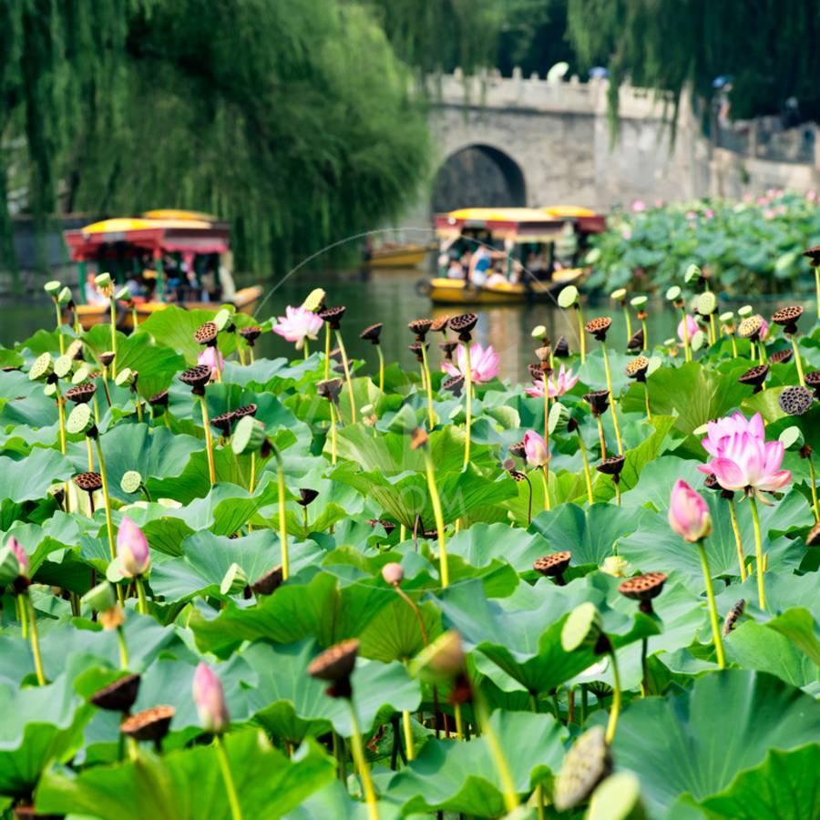 China 10mkm2 Collection Lotus Flowers Photographic Print By