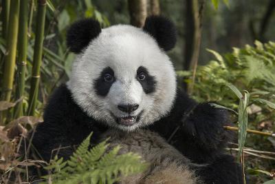 China, Chengdu, Chengdu Panda Base. Portrait of Young Giant Panda-Jaynes Gallery-Photographic Print