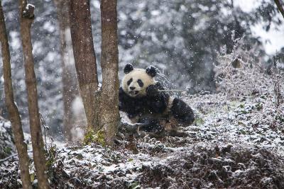 China, Chengdu Panda Base. Baby Giant Panda in Snowfall-Jaynes Gallery-Photographic Print