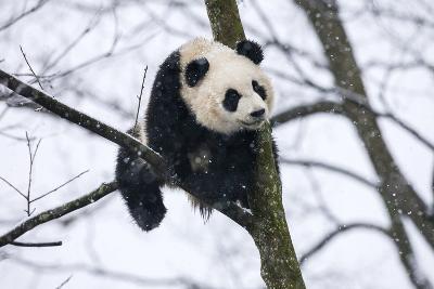 China, Chengdu Panda Base. Baby Giant Panda in Tree-Jaynes Gallery-Photographic Print