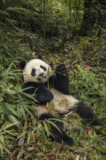 China, Chengdu Panda Base. Young Giant Panda Eating-Jaynes Gallery-Photographic Print