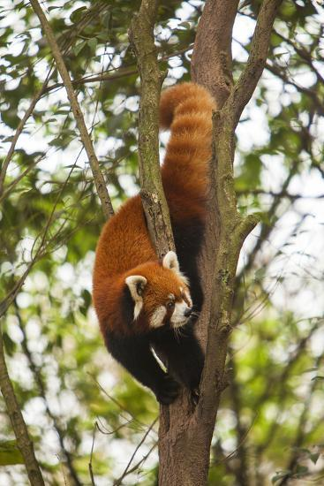 China, Chengdu, Wolong National Natural Reserve. Lesser Panda in Tree-Jaynes Gallery-Photographic Print
