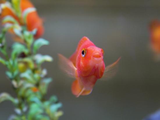 China, Gold Fish in the Tank-Keren Su-Photographic Print
