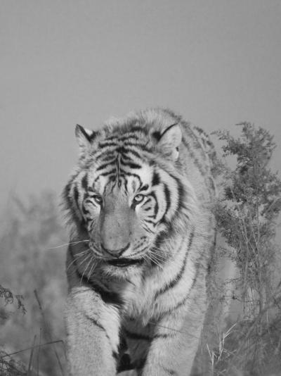 China, Heilongjiang Province, Siberian Tiger in the Grass-Keren Su-Photographic Print