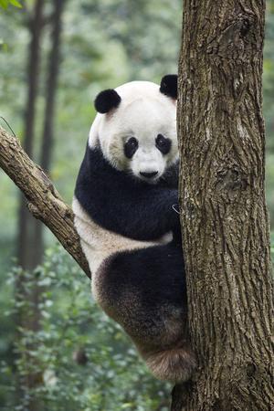 China, Sichuan, Chengdu, Giant Panda Bear at Chengdu Research Base-Paul Souders-Photographic Print