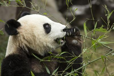 China, Sichuan, Chengdu, Giant Panda Bear Feeding on Bamboo Shoots-Paul Souders-Photographic Print