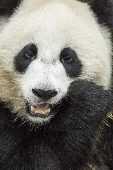 China, Sichuan Province, Chengdu, Pgiant Panda Bear Feeding on Bamboo-Paul Souders-Photographic Print
