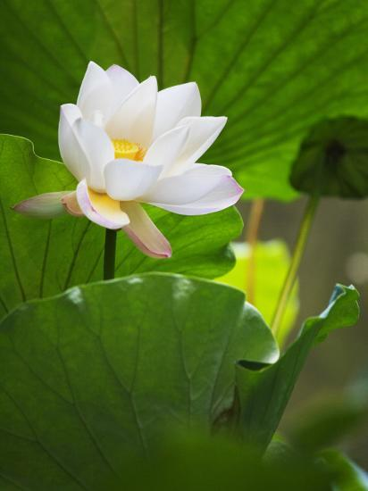 China, Sichuan Province, Lotus Flower in the Pond-Keren Su-Photographic Print