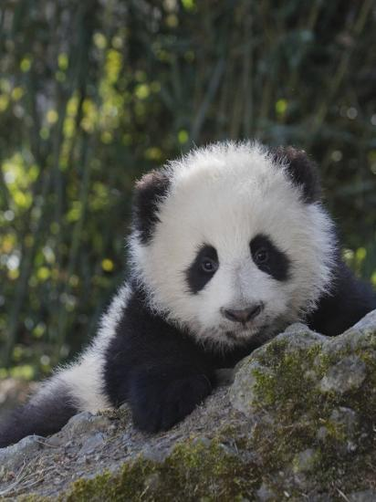 China, Sichuan Province, Wolong, 5-Month-Old Panda Cub in the Forest-Keren Su-Photographic Print