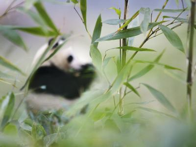 China, Sichuan Province, Wolong, Giant Panda Eating Bamboo in the Bamboo Forest-Keren Su-Photographic Print