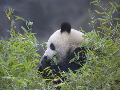 China, Sichuan Province, Wolong, Giant Panda Eating Bamboo in the Bush-Keren Su-Photographic Print