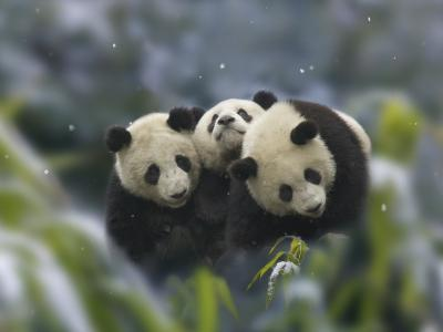 China, Sichuan Province, Wolong, Three Giant Panda Cubs in the Forest on a Snowy Day-Keren Su-Photographic Print