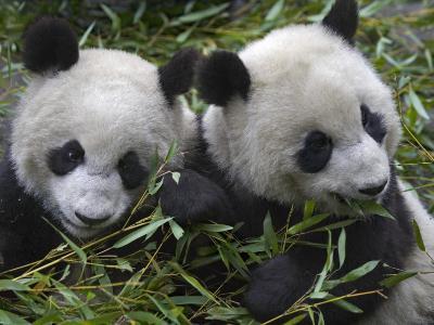 China, Sichuan Province, Wolong, Two Giant Pandas Eating Bamboo in the Bush-Keren Su-Photographic Print