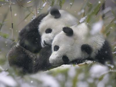 China, Sichuan Province, Wolong, Two Giant Pandas Sleep in the Bamboo Bush in Snow-Keren Su-Photographic Print