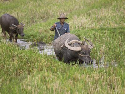 China, Yunnan Province, Farmer Ploughing with Water Buffalo in the Rice Paddy-Keren Su-Photographic Print