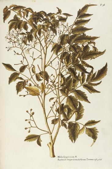 Chinaberry Tree or White Cedar (Melia Azedarach)--Giclee Print