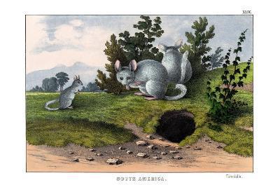 Chinchilla, 1860--Giclee Print