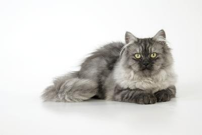 Chincilla X Persian Dark Silver Smoke Cat--Photographic Print