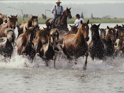 Chincoteague Cowboys Drive Their Wild Ponies to Auction-Medford Taylor-Photographic Print