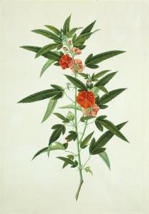 Chinese Botanical Illustration of a Flower, Purplered Pentapetes