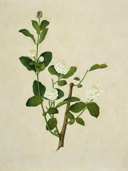 Chinese Botanical Illustration of an Arabian Jasmine--Giclee Print
