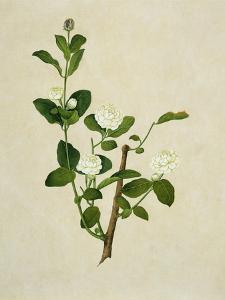 Chinese Botanical Illustration of an Arabian Jasmine