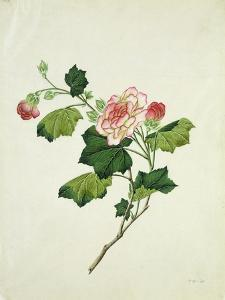 Chinese Botanical Illustration of Chinese Mallow