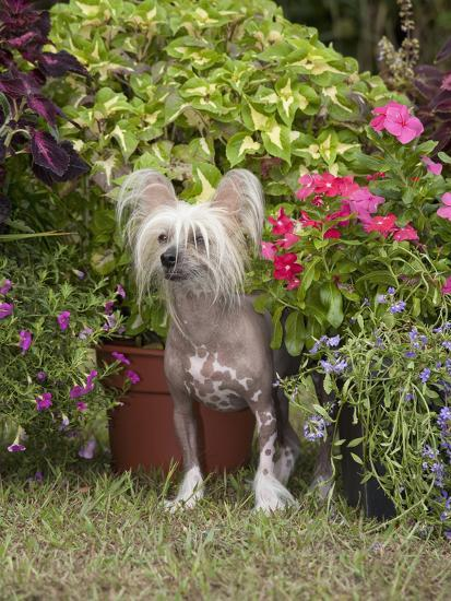 Chinese Crested Hairless Dog Standing in a Yard, MR 2528-Cheryl Ertelt-Photographic Print