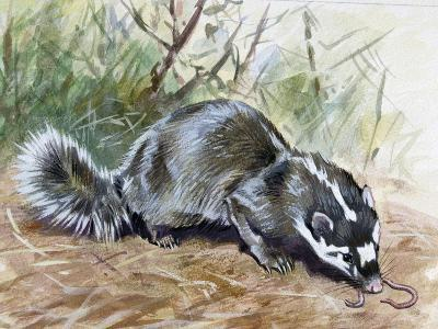 Chinese Ferret-Badger (Melogale Moschata), Mustelidae--Giclee Print