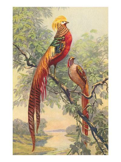 Chinese Golden Pheasant--Art Print