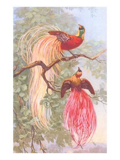 Chinese Golden Pheasants--Art Print