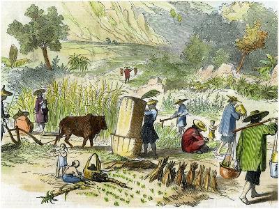 Chinese Harvest, Hong Kong, C1875--Giclee Print