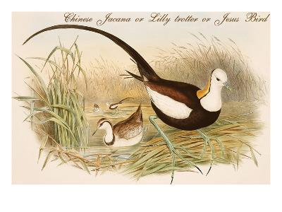 Chinese Jacana or Lilly Trotter or Jesus Bird-John Gould-Art Print