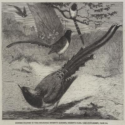 Chinese Magpies in the Zoological Society's Gardens, Regent's Park-Friedrich Wilhelm Keyl-Giclee Print