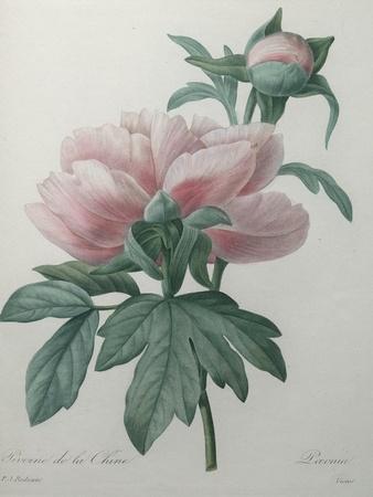 https://imgc.artprintimages.com/img/print/chinese-peony_u-l-pwbc1q0.jpg?p=0