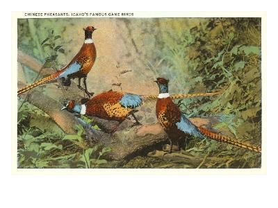 Chinese Pheasants, Idaho--Art Print