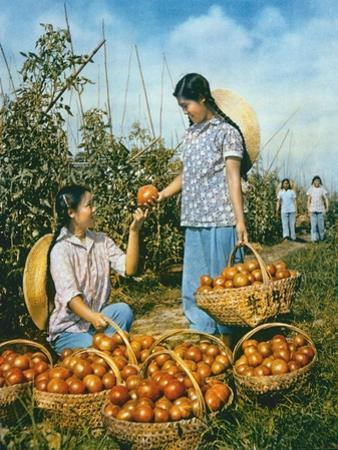 Chinese Food Production: Ripe Tomatoes, 1959